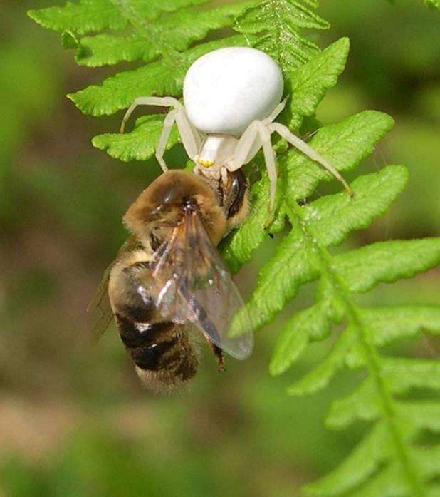 les Prédateurs de l'abeille